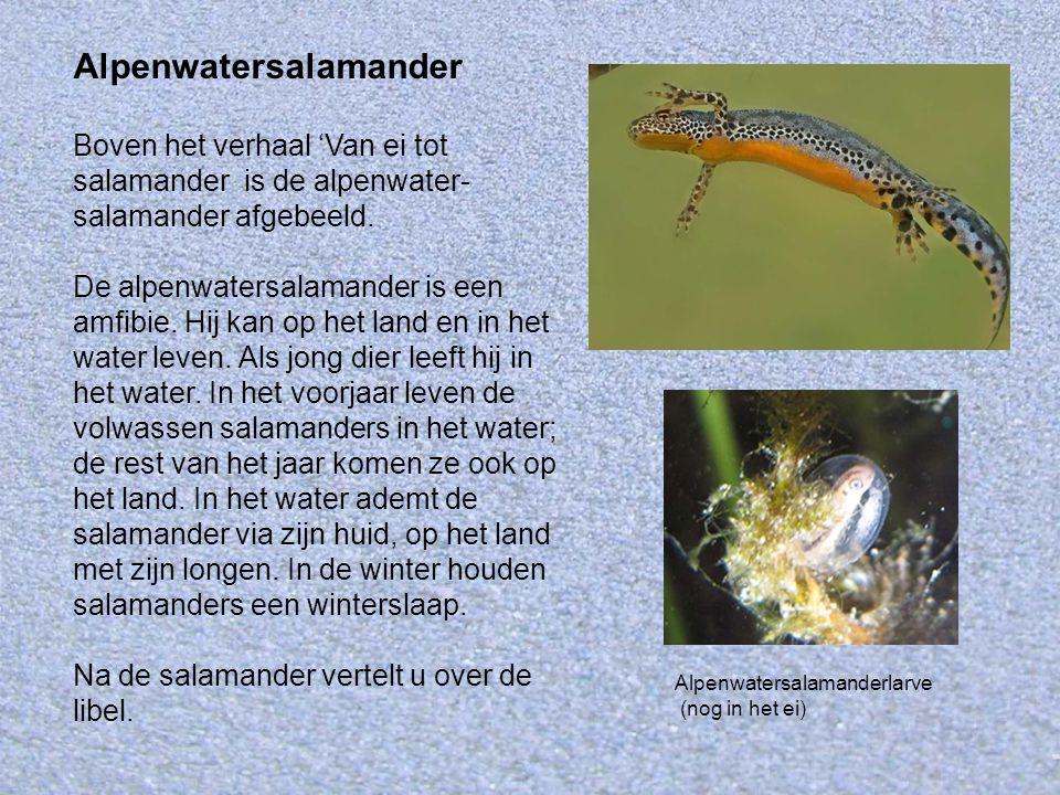 Alpenwatersalamander Boven het verhaal 'Van ei tot salamander is de alpenwater- salamander afgebeeld. De alpenwatersalamander is een amfibie. Hij kan