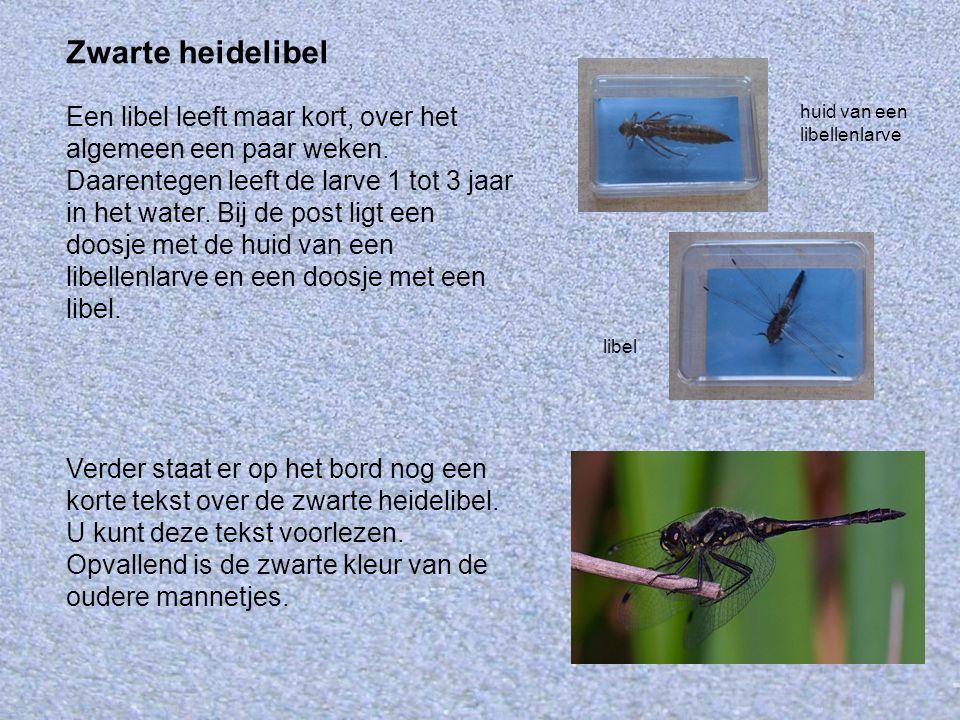 Zwarte heidelibel Een libel leeft maar kort, over het algemeen een paar weken. Daarentegen leeft de larve 1 tot 3 jaar in het water. Bij de post ligt
