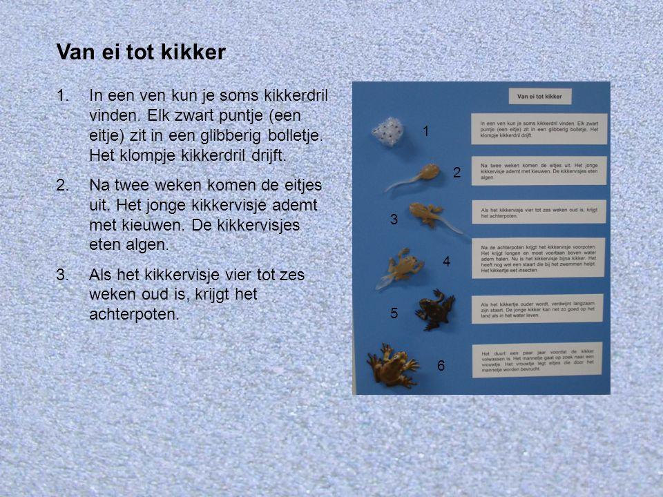 4.Na de achterpoten krijgt het kikkervisje voorpoten.