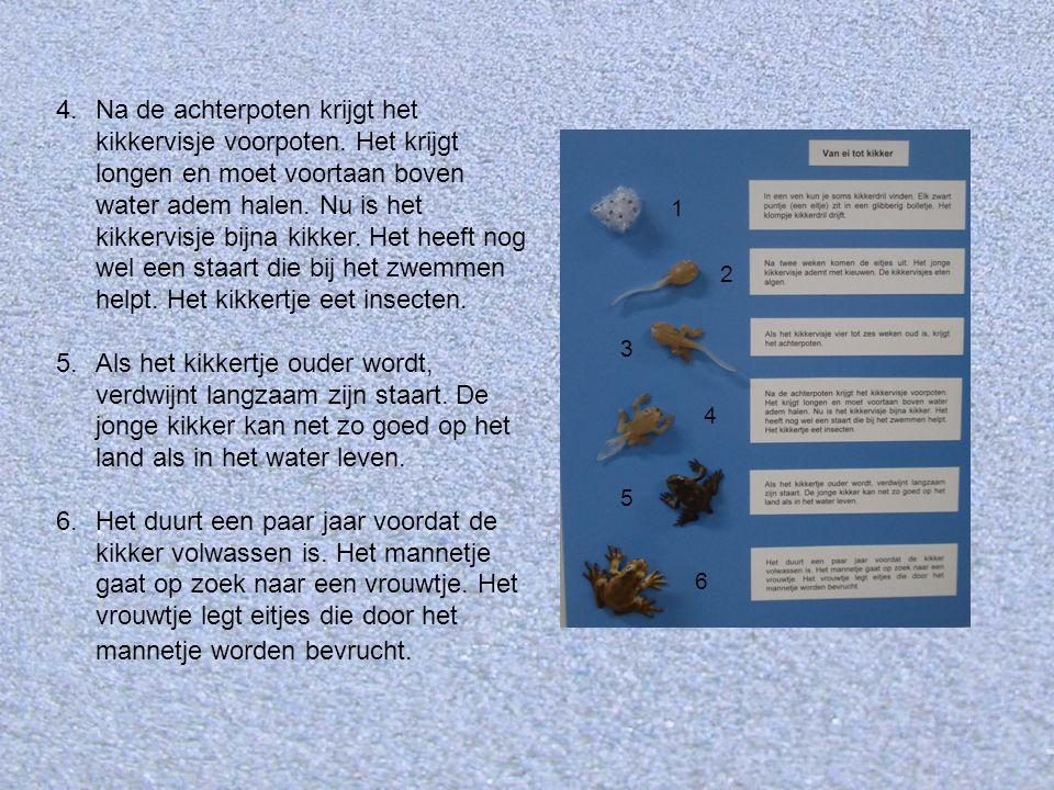 Heikikker Boven het verhaal 'Van ei tot kikker' is de heikikker afgebeeld.