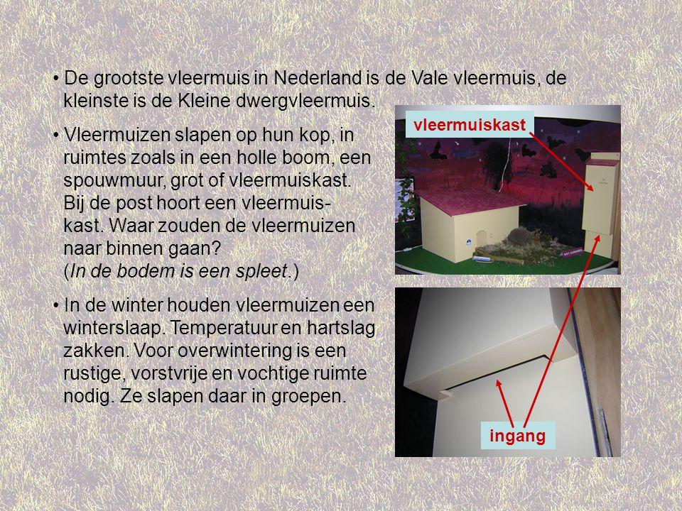 De grootste vleermuis in Nederland is de Vale vleermuis, de kleinste is de Kleine dwergvleermuis.