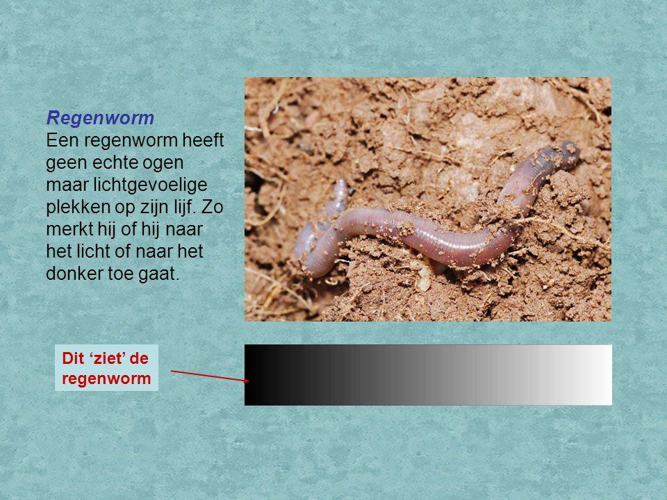 Regenworm Een regenworm heeft geen echte ogen maar lichtgevoelige plekken op zijn lijf. Zo merkt hij of hij naar het licht of naar het donker toe gaat