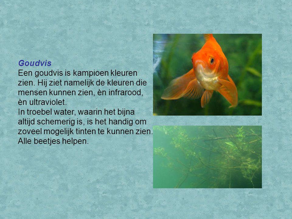 Goudvis Een goudvis is kampioen kleuren zien. Hij ziet namelijk de kleuren die mensen kunnen zien, èn infrarood, èn ultraviolet. In troebel water, waa