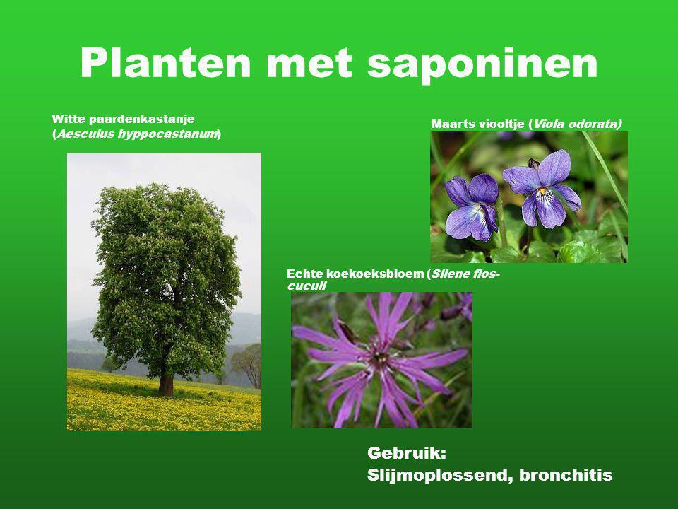 Planten met saponinen Witte paardenkastanje (Aesculus hyppocastanum) Gebruik: Slijmoplossend, bronchitis Maarts viooltje (Viola odorata) Echte koekoeksbloem (Silene flos- cuculi