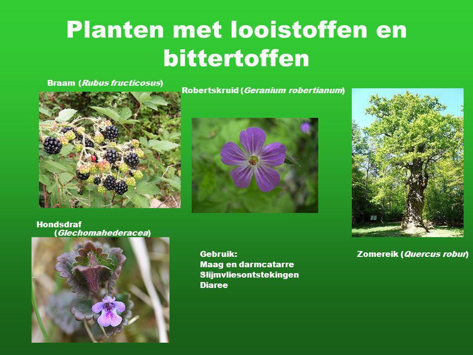Planten met looistoffen en bittertoffen Braam (Rubus fructicosus) Robertskruid (Geranium robertianum) Hondsdraf (Glechomahederacea) Zomereik (Quercus