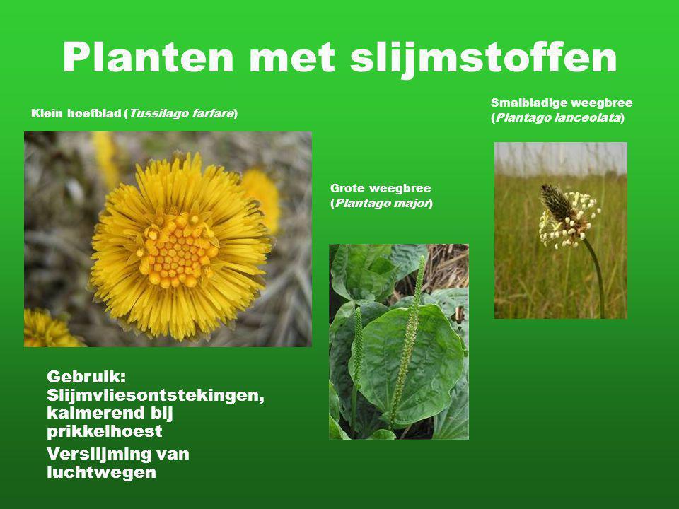 Planten met slijmstoffen Klein hoefblad (Tussilago farfare) Gebruik: Slijmvliesontstekingen, kalmerend bij prikkelhoest Verslijming van luchtwegen Sma