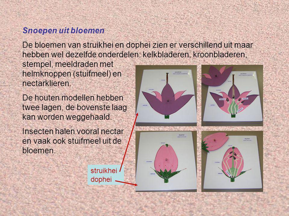 Snoepen uit bloemen De bloemen van struikhei en dophei zien er verschillend uit maar hebben wel dezelfde onderdelen: kelkbladeren, kroonbladeren, stempel, meeldraden met helmknoppen (stuifmeel) en nectarklieren.