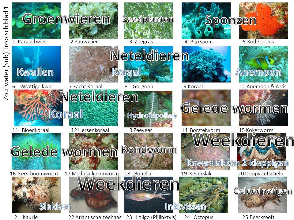 Zoutwater (Sub) Tropisch blad 1 1 Parasol wier 2 Pauwwier 3 Zeegras 4 Pijp spons 5 Rode spons 6 Wrattige kwal 7 Zacht Koraal 8 Gorgoon 9 Koraal 10 Ane
