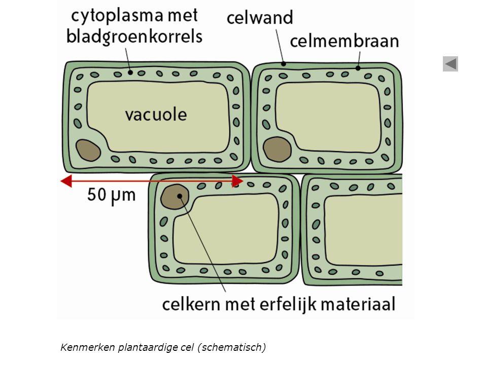 Kenmerken plantaardige cel (schematisch)