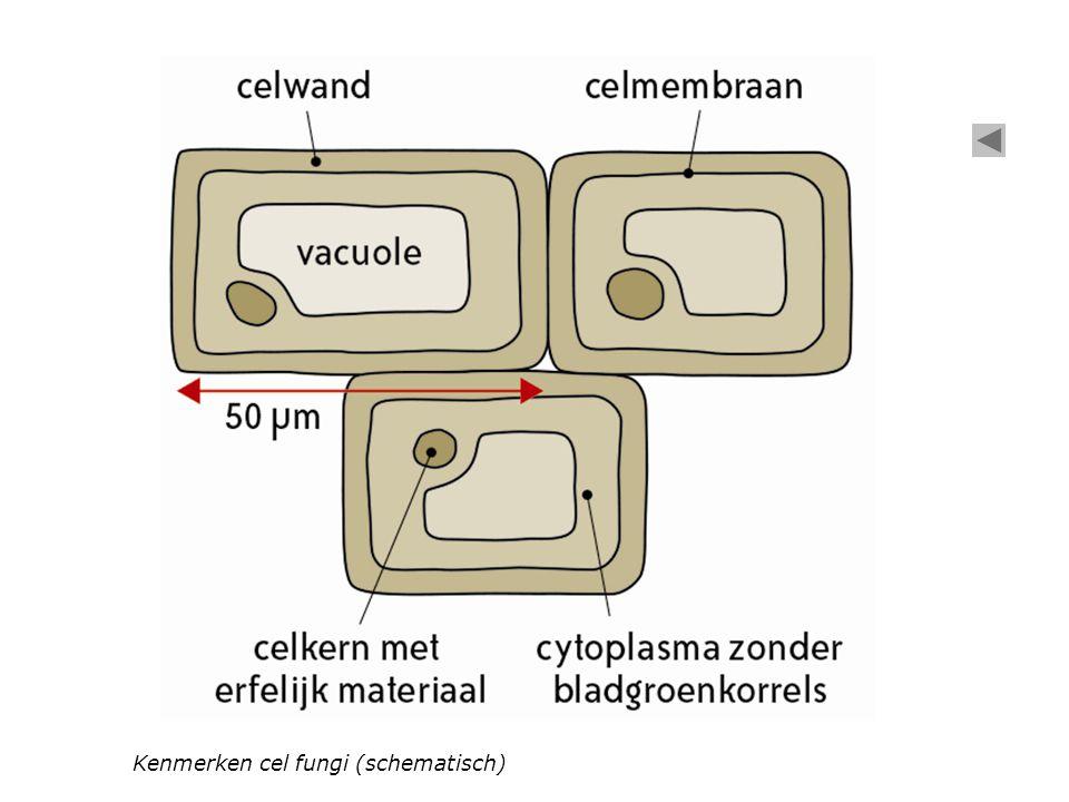 Kenmerken cel fungi (schematisch)
