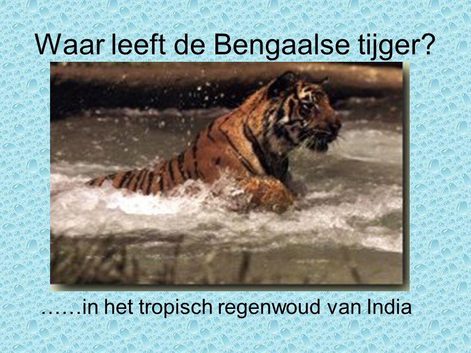 De tijger: * is een roofdier * staat bovenaan de voedselketen * valt soms ook mensen aan * werd vroeger bejaagd door rijke toeristen en Engelsen * leeft nu in reservaten * wordt nu beschermd * moet oppassen voor stropers
