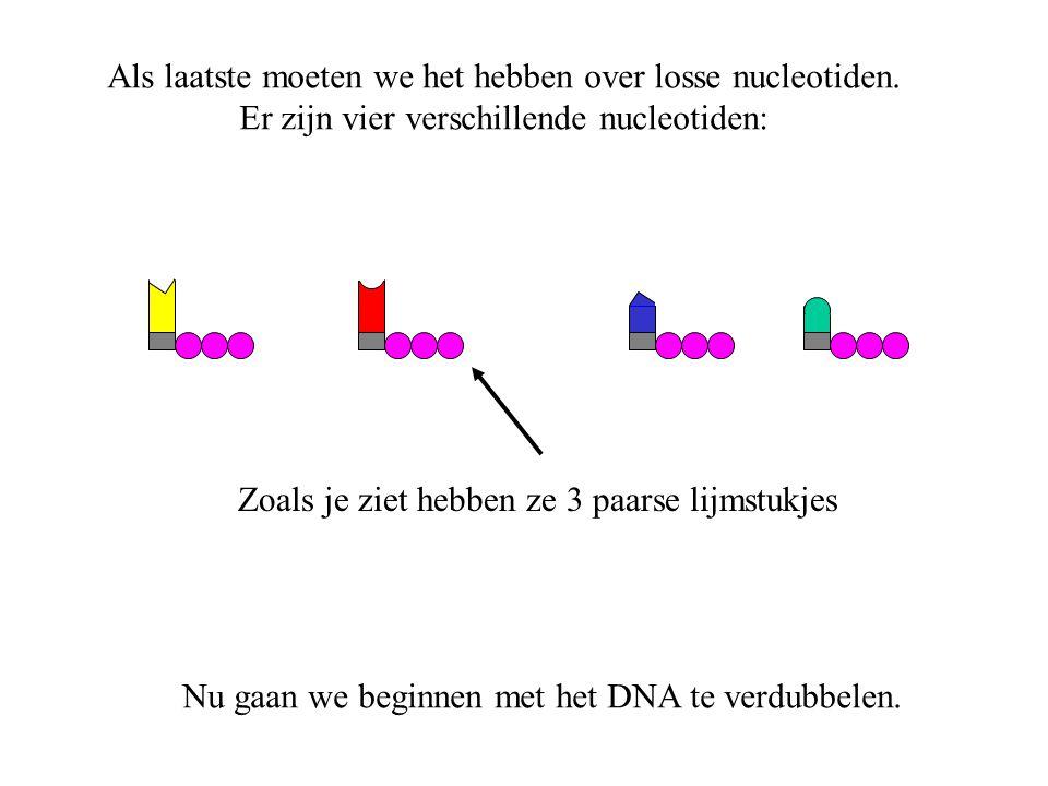Het eiwit helicase gaat naar een uiteinde van het chromosoom. (toets 'enter')