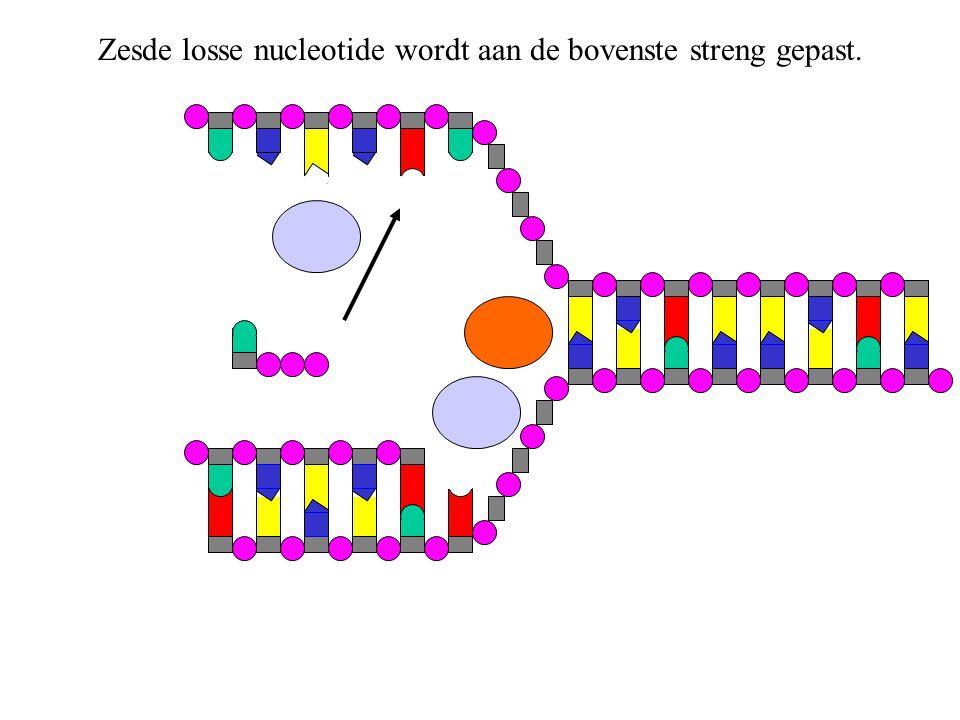 Bij het vastzetten van de nucleotide aan de bovenste streng, verliest de nucleotide twee paarse deeltjes.