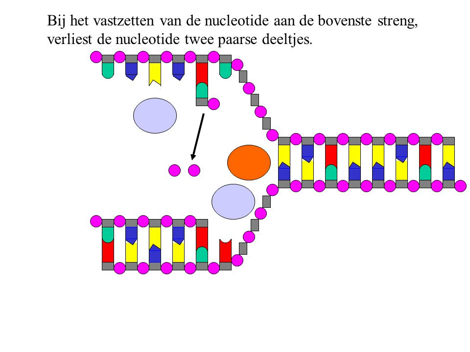 Zevende losse nucleotide wordt aan de bovenste streng gepast.