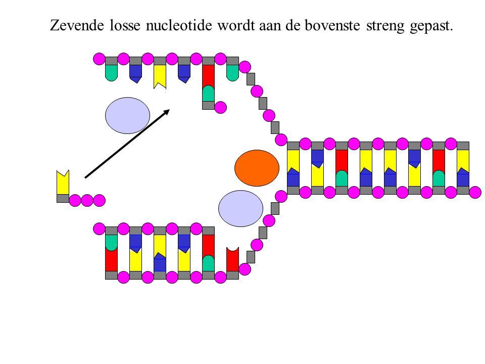 Om de twee nucleotiden aan elkaar te maken, maakt DNA-polymerase 2 paarse deeltjes los van de zevende nucleotide.