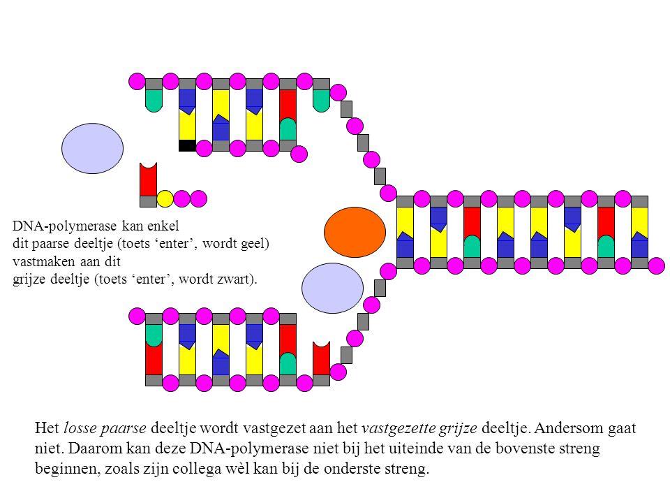 Om de twee nucleotiden aan elkaar te maken, maakt DNA-polymerase 2 paarse deeltjes los van de tiende nucleotide.