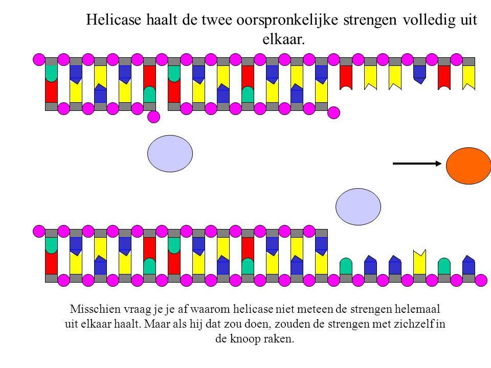 DNA-polymerase verplaatst zich, helicase verdwijnt. (toets 'enter')