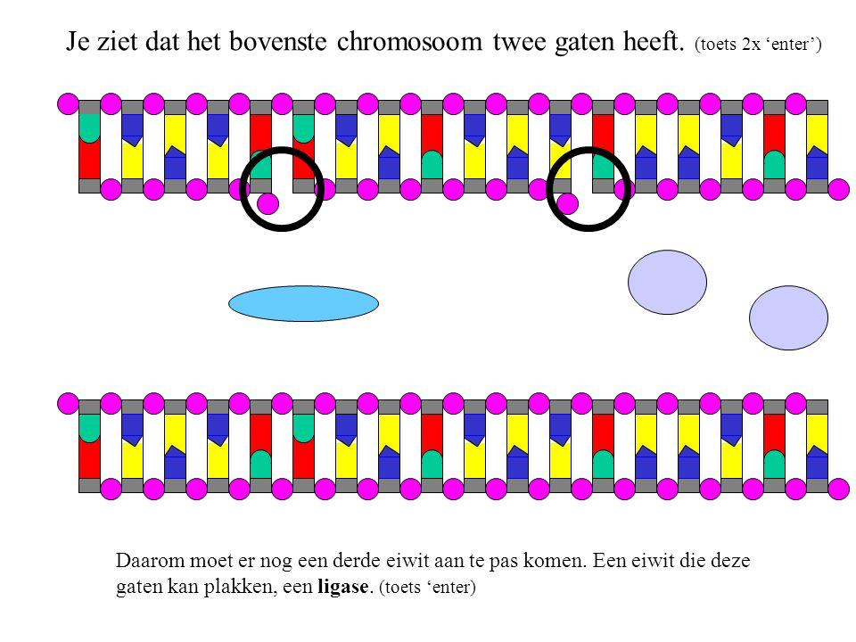 Nu is de replicatie klaar, beide chromosomen zien er hetzelfde uit.