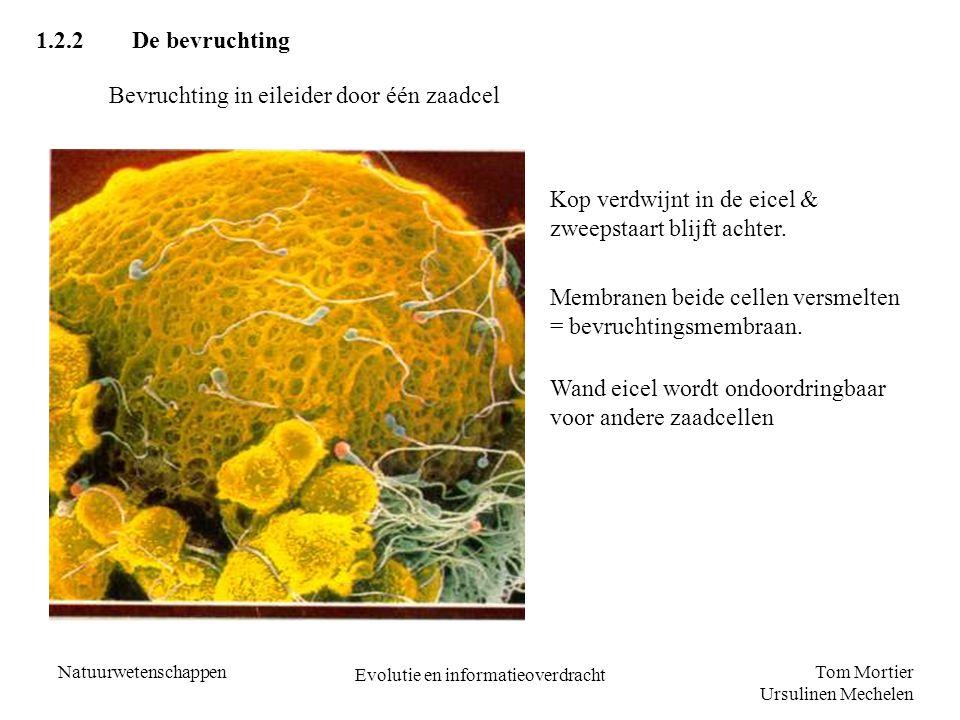 Tom Mortier Ursulinen Mechelen Natuurwetenschappen Evolutie en informatieoverdracht 1.2.2De bevruchting Bevruchting in eileider door één zaadcel Kop verdwijnt in de eicel & zweepstaart blijft achter.