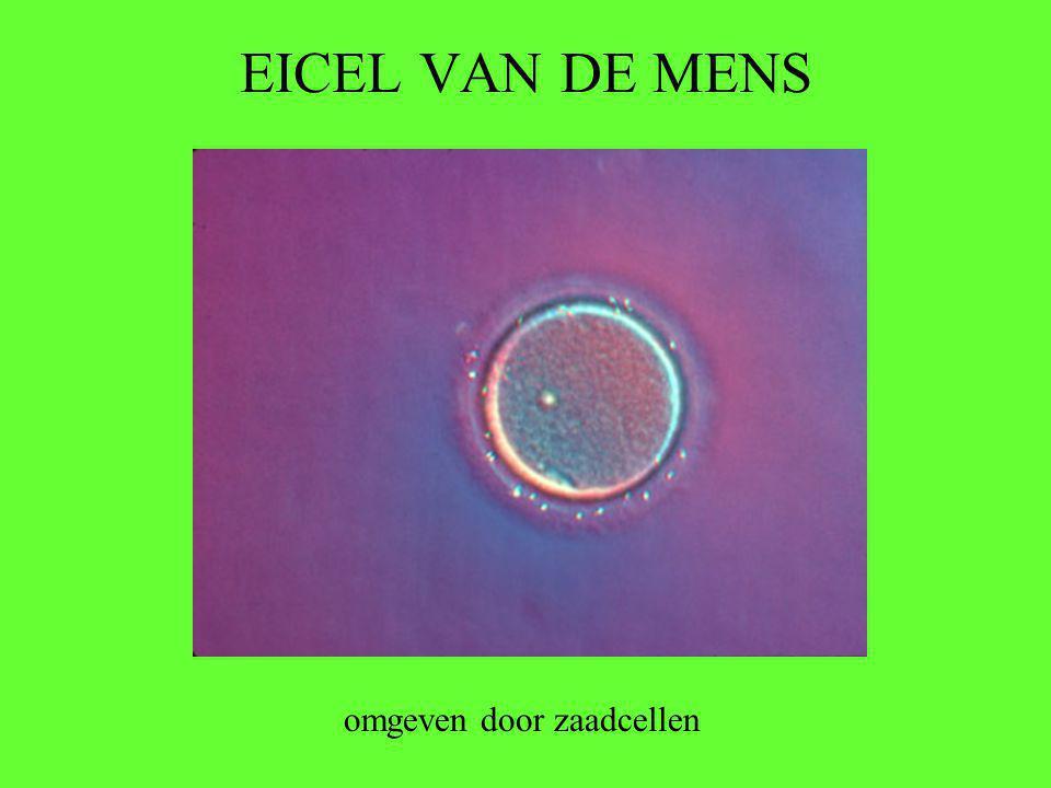 EICEL VAN DE MENS omgeven door zaadcellen