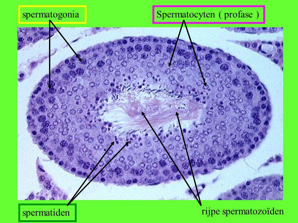 rijpe spermatozoïden spermatiden spermatogoniaSpermatocyten ( profase )