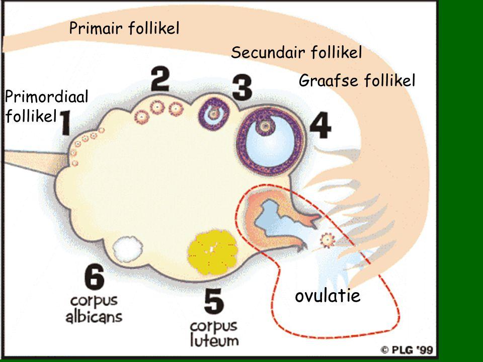 dochtercel Groei en differentiatie zaadkanaaltje Lumen van zaadkanaaltje Primaire spermatocyt 2 secundaire spermatocyten 4 spermatiden