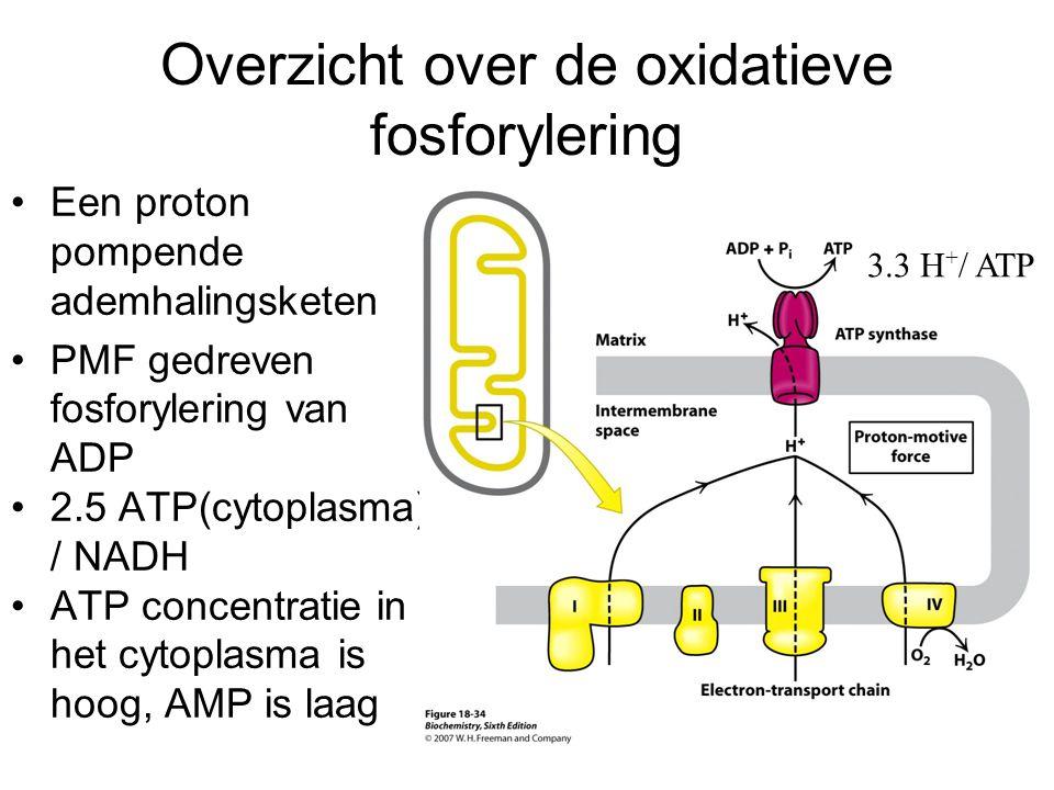 Overzicht over de oxidatieve fosforylering Een proton pompende ademhalingsketen PMF gedreven fosforylering van ADP 2.5 ATP(cytoplasma) / NADH ATP conc