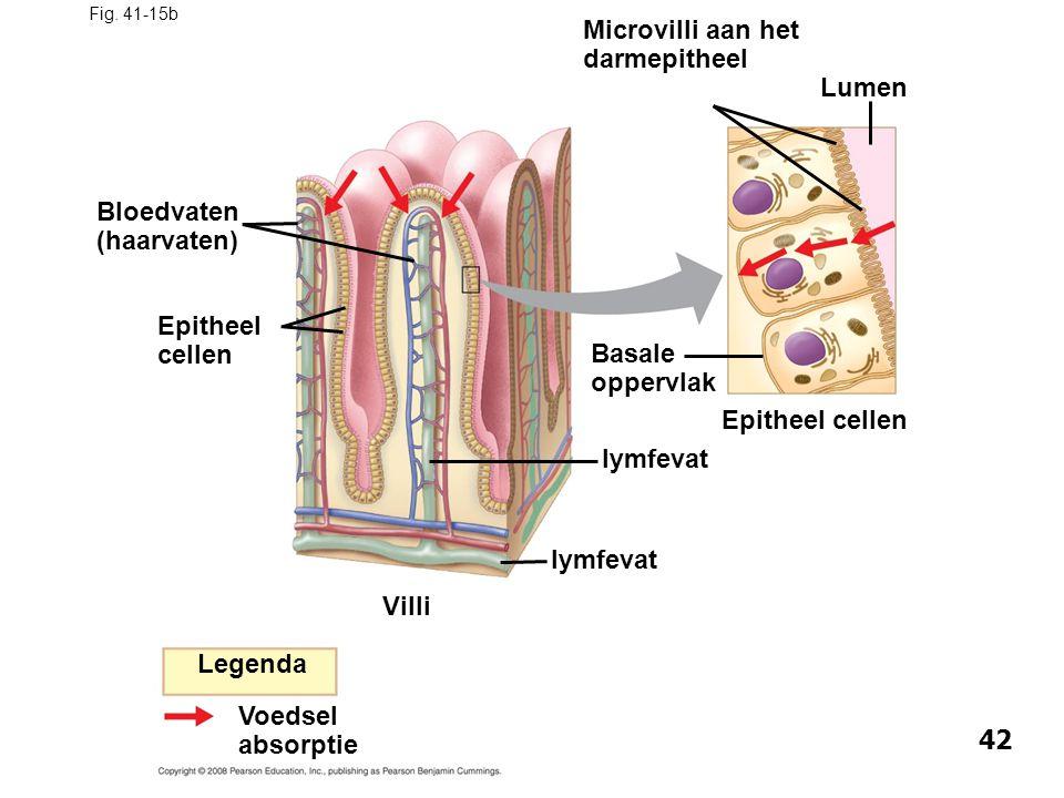 Fig. 41-15b Microvilli aan het darmepitheel Legenda Voedsel absorptie Bloedvaten (haarvaten) Epitheel cellen Villi lymfevat Basale oppervlak lymfevat