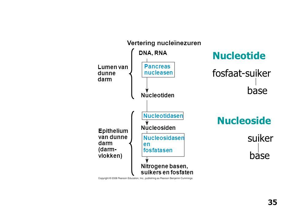 Lumen van dunne darm Epithelium van dunne darm (darm- vlokken) Vertering nucleïnezuren DNA, RNA Nucleotiden Pancreas nucleasen Nucleosidasen en fosfat