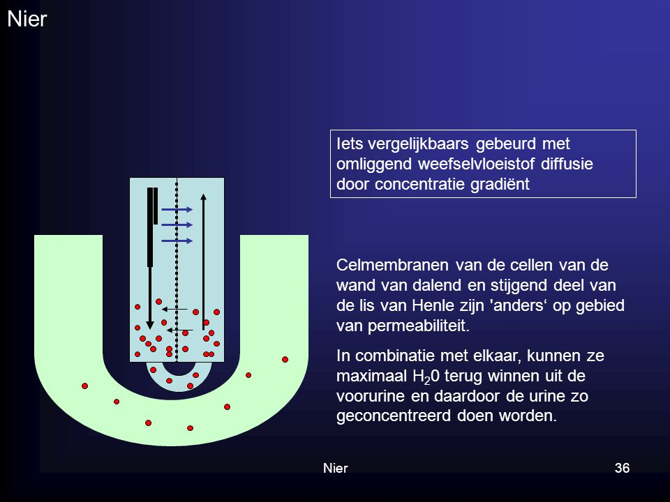 Nier36 Nier Iets vergelijkbaars gebeurd met omliggend weefselvloeistof diffusie door concentratie gradiënt Celmembranen van de cellen van de wand van