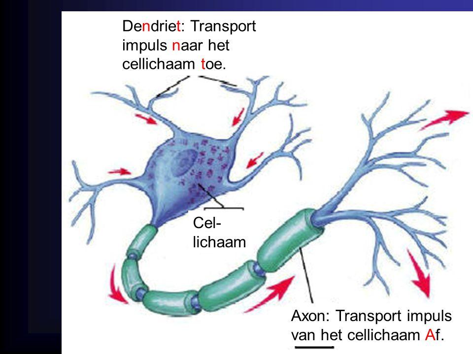 Dendriet: Transport impuls naar het cellichaam toe. Axon: Transport impuls van het cellichaam Af. Cel- lichaam