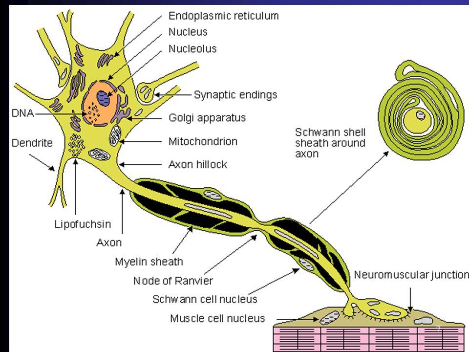 Homeostase Synaps 18
