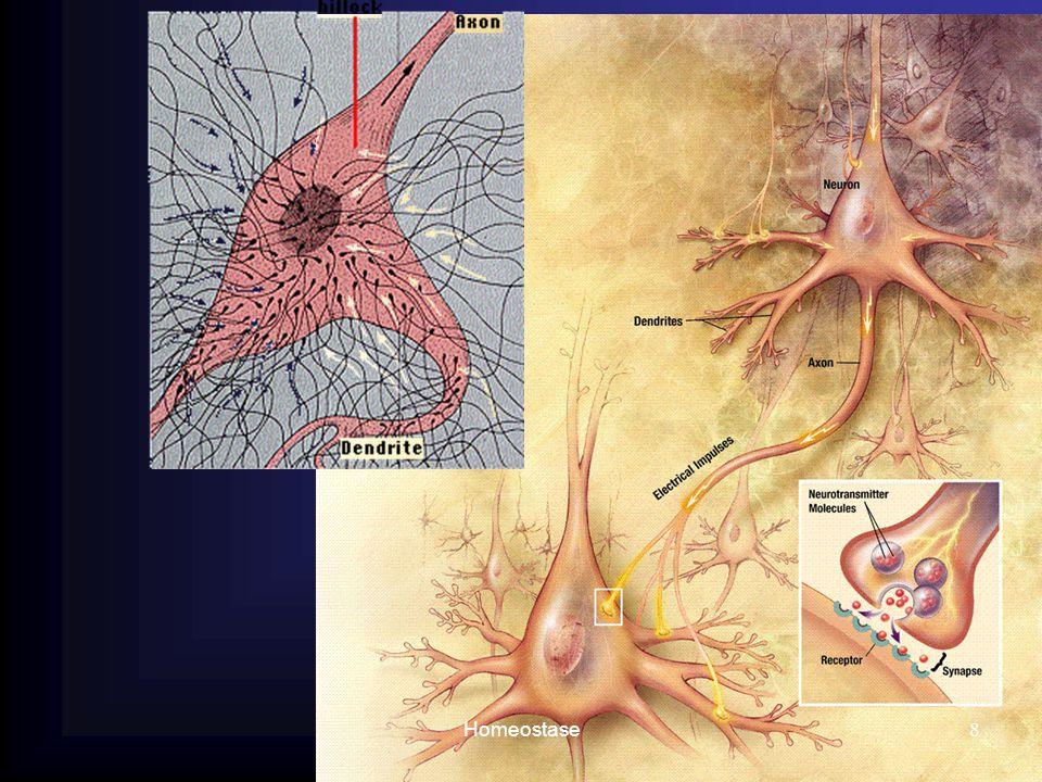 9 Cellichaam ligt in het CZS Cellichaam ligt buiten het CZS in de spinale ganglia
