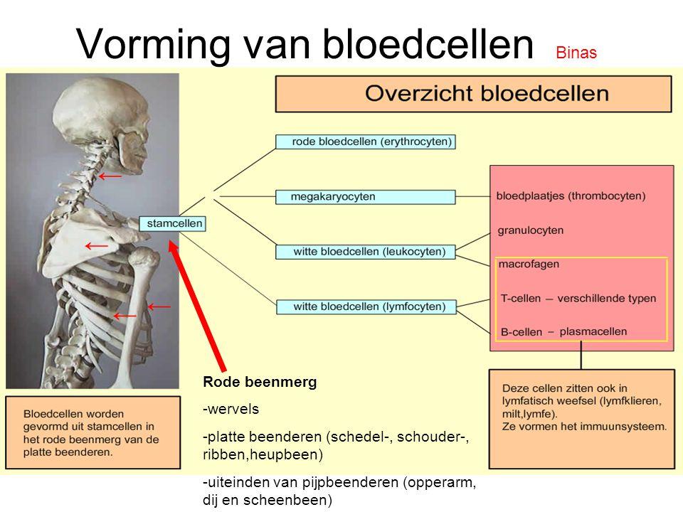 Vorming van bloedcellen Binas Rode beenmerg -wervels -platte beenderen (schedel-, schouder-, ribben,heupbeen) -uiteinden van pijpbeenderen (opperarm, dij en scheenbeen)