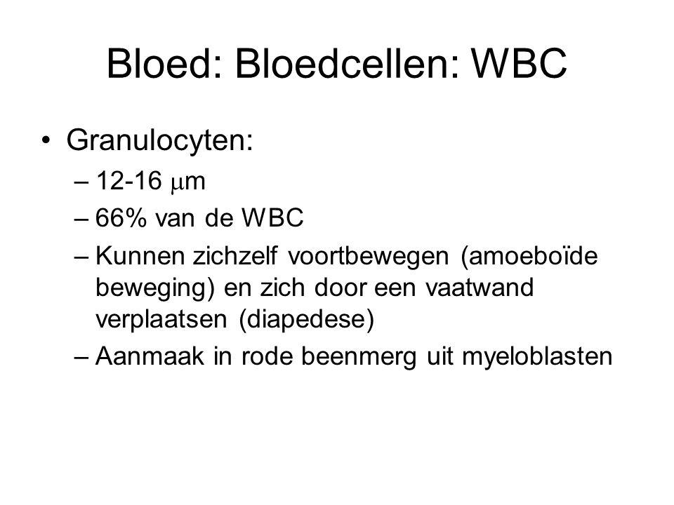 Bloed: Bloedcellen: WBC Granulocyten: –12-16  m –66% van de WBC –Kunnen zichzelf voortbewegen (amoeboïde beweging) en zich door een vaatwand verplaatsen (diapedese) –Aanmaak in rode beenmerg uit myeloblasten