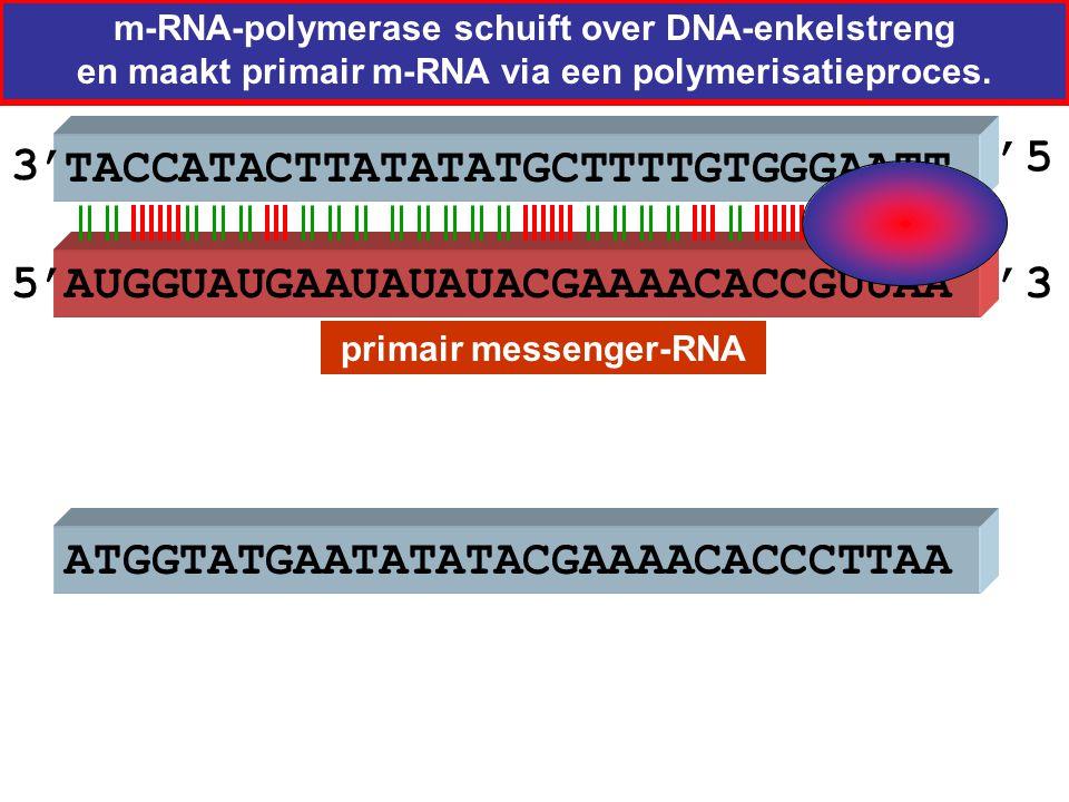 TACCATACTTATATATGCTTTTGTGGGAATT primair messenger-RNA m-RNA-polymerase schuift over DNA-enkelstreng en maakt primair m-RNA via een polymerisatieproces