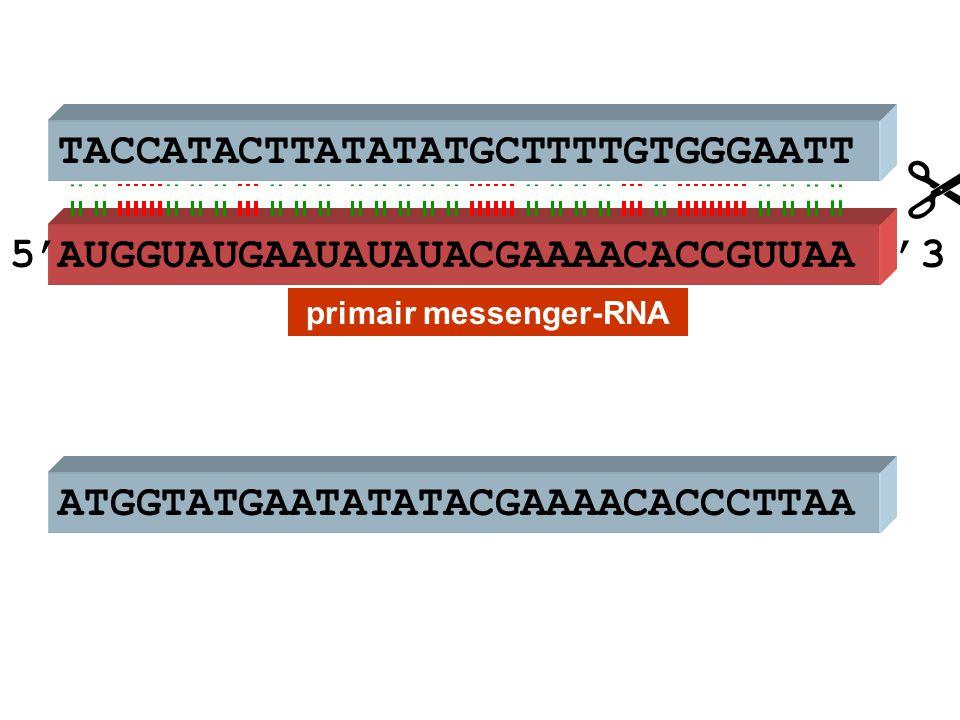 ATGGTATGAATATATACGAAAACACCCTTAA AUGGUAUGAAUAUAUACGAAAACACCGUUAA  TACCATACTTATATATGCTTTTGTGGGAATT primair messenger-RNA 5''3
