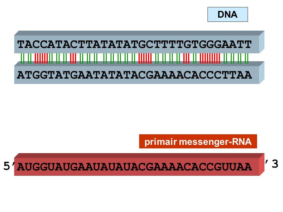 ATGGTATGAATATATACGAAAACACCCTTAA TACCATACTTATATATGCTTTTGTGGGAATT AUGGUAUGAAUAUAUACGAAAACACCGUUAA DNA primair messenger-RNA 5' '3