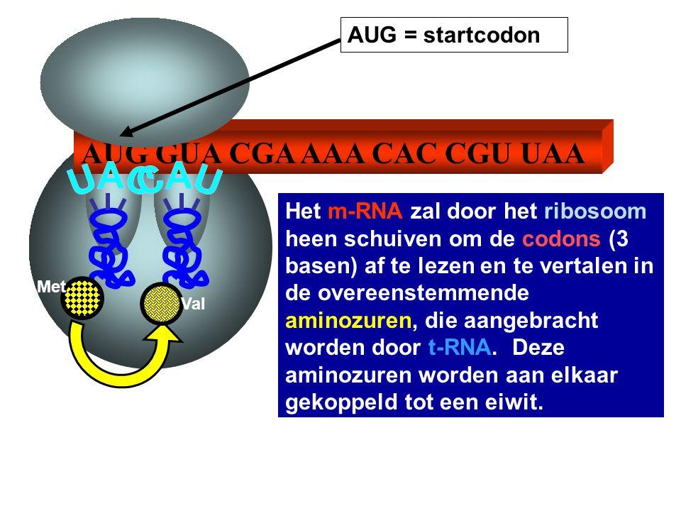 AUG GUA CGA AAA CAC CGU UAA AUG = startcodon Het m-RNA zal door het ribosoom heen schuiven om de codons (3 basen) af te lezen en te vertalen in de ove