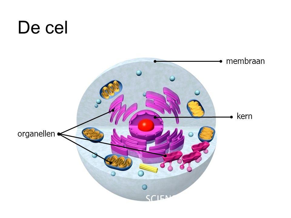 AUG GUA CGA AAA CAC CGU UAA AUG = startcodon Het m-RNA zal door het ribosoom heen schuiven om de codons (3 basen) af te lezen en te vertalen in de overeenstemmende aminozuren, die aangebracht worden door t-RNA.