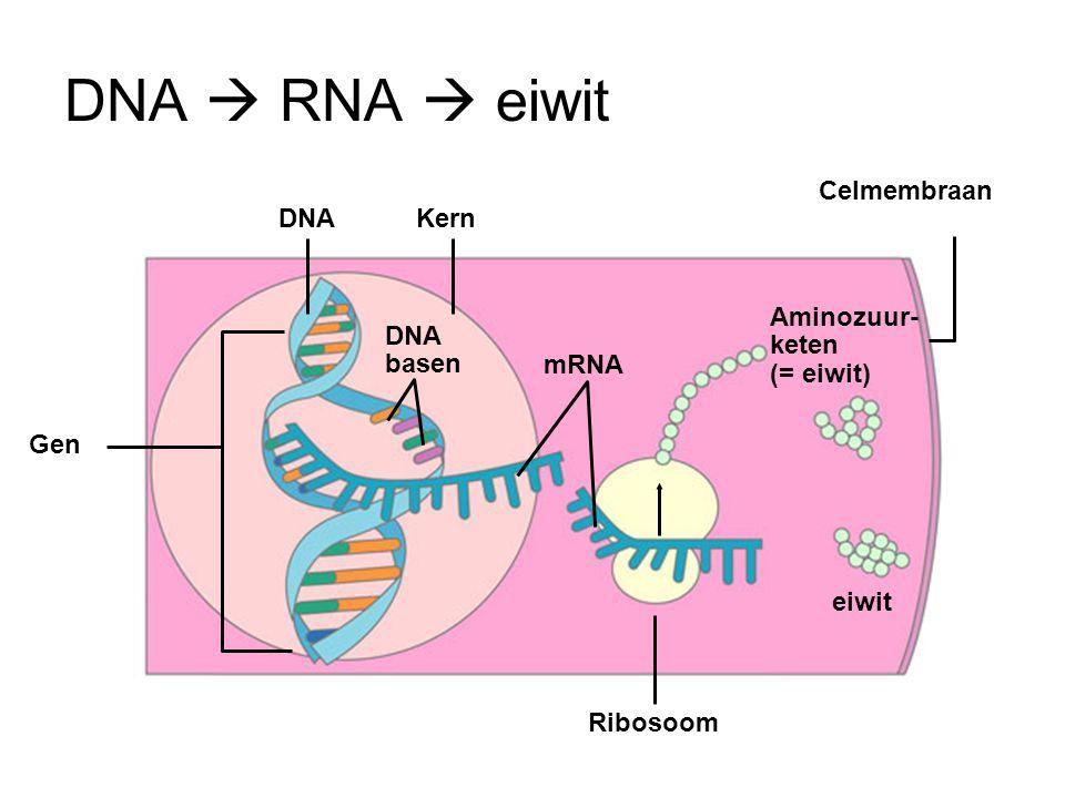 Kern DNA basen mRNA DNA eiwit Ribosoom Celmembraan Gen Aminozuur- keten (= eiwit) DNA  RNA  eiwit