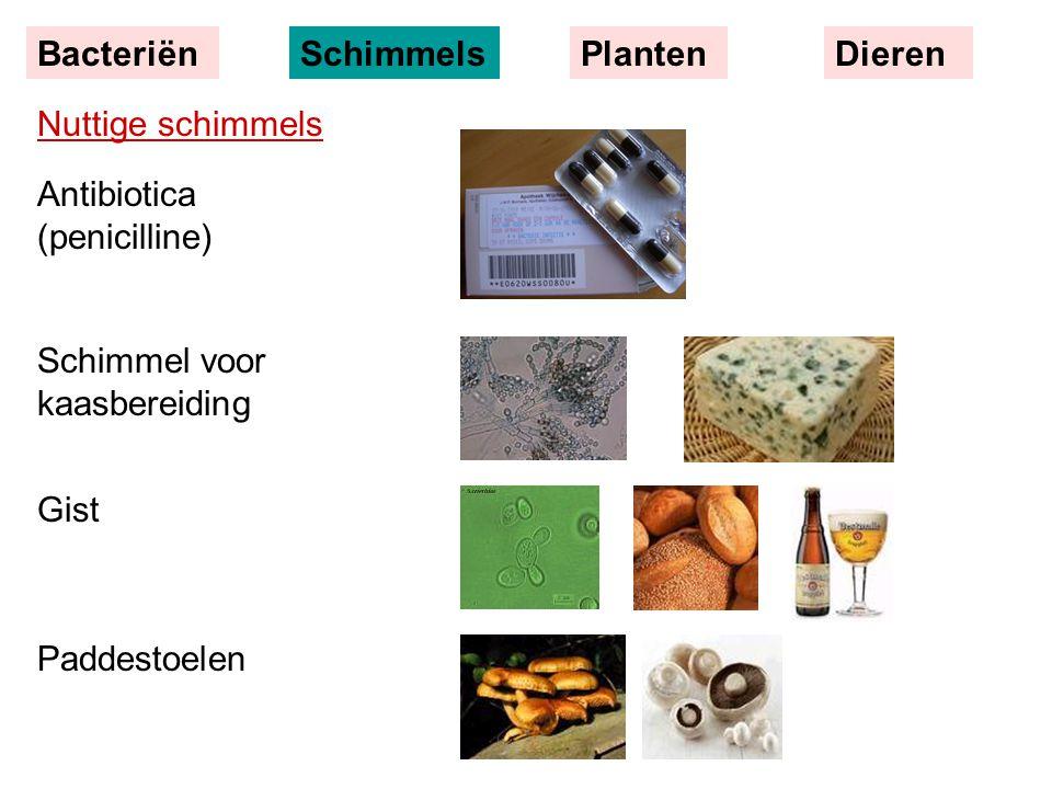 Nuttige schimmels Antibiotica (penicilline) Schimmel voor kaasbereiding Gist Paddestoelen BacteriënSchimmelsPlantenDieren