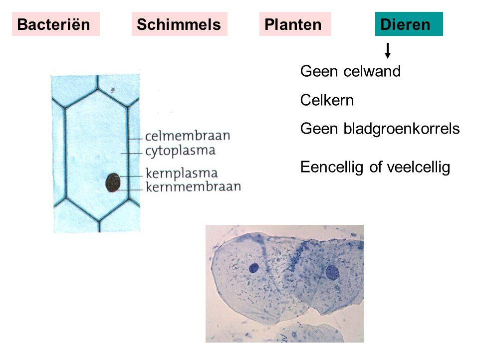 Geen celwand Celkern Geen bladgroenkorrels Eencellig of veelcellig BacteriënSchimmelsPlantenDieren