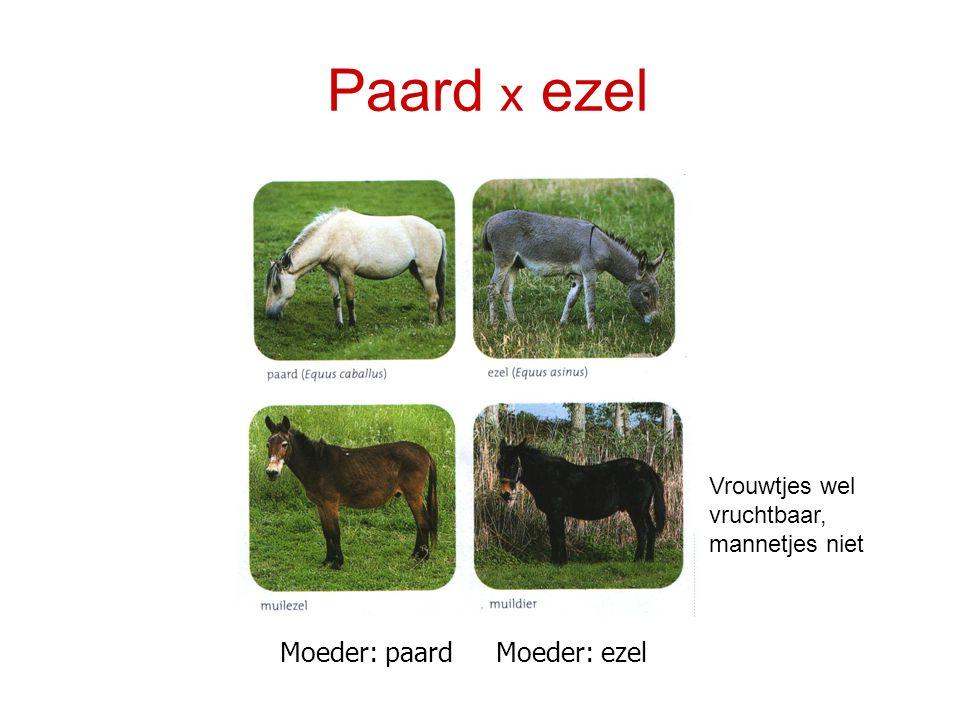 Paard x ezel Moeder: paardMoeder: ezel Vrouwtjes wel vruchtbaar, mannetjes niet