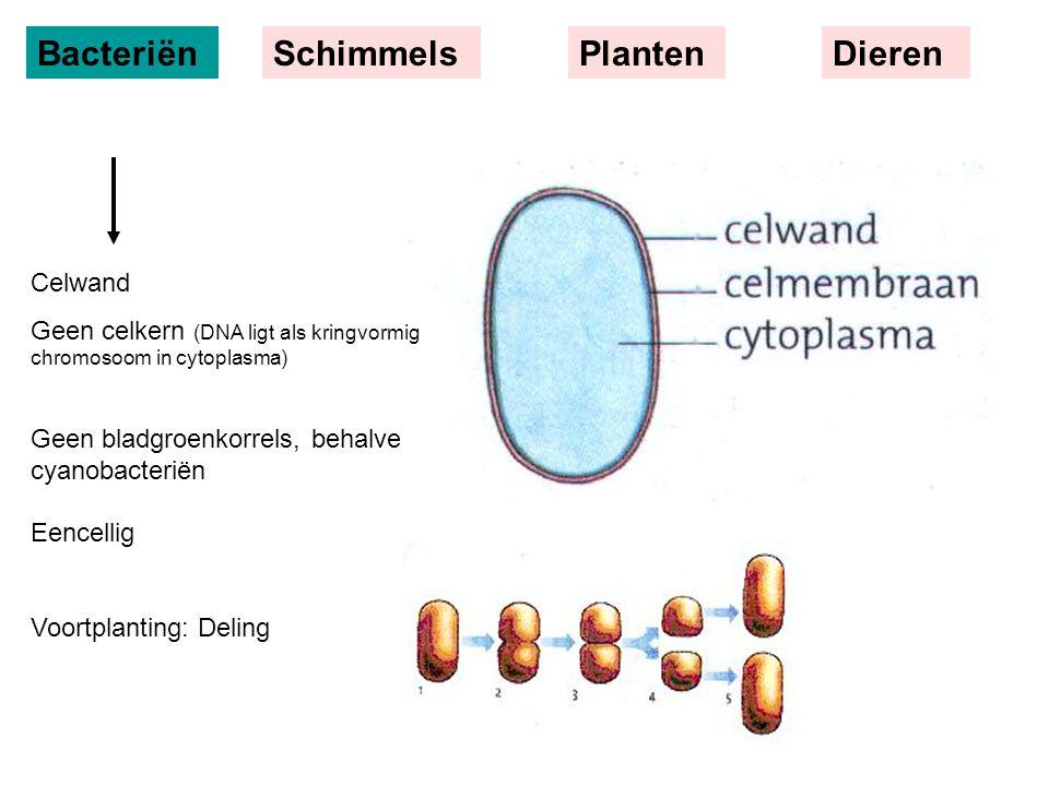 BacteriënSchimmelsPlantenDieren Celwand Geen celkern (DNA ligt als kringvormig chromosoom in cytoplasma) Geen bladgroenkorrels, behalve cyanobacteriën