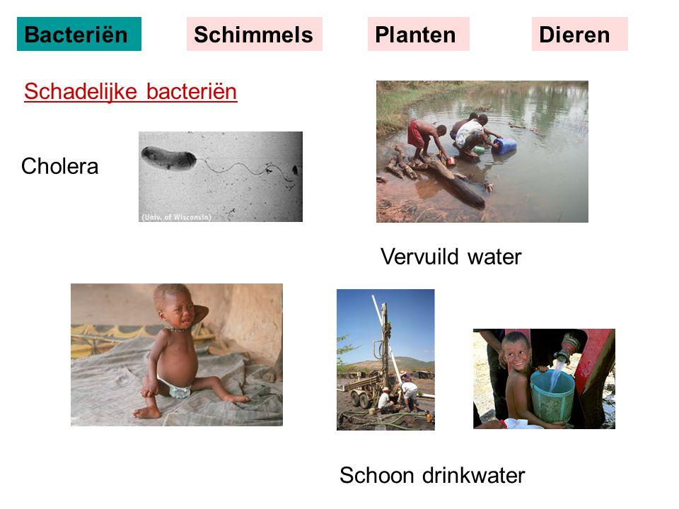 Cholera Schoon drinkwater Vervuild water BacteriënSchimmelsPlantenDieren Schadelijke bacteriën