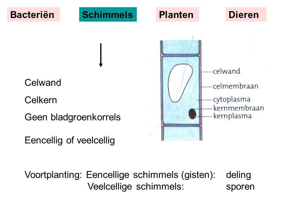 Celwand Celkern Geen bladgroenkorrels Eencellig of veelcellig Voortplanting: Eencellige schimmels (gisten):deling Veelcellige schimmels:sporen Bacteri