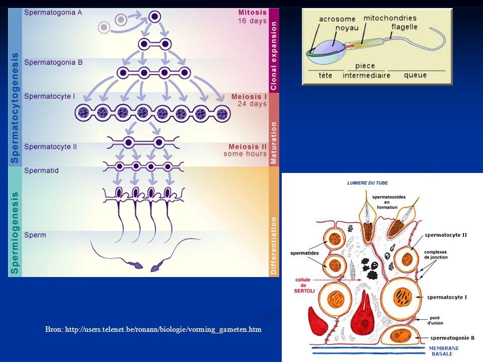 Bron: http://users.telenet.be/ronann/biologie/vorming_gameten.htm