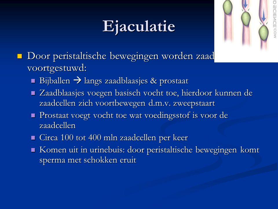 Ejaculatie Door peristaltische bewegingen worden zaadcellen voortgestuwd: Door peristaltische bewegingen worden zaadcellen voortgestuwd: Bijballen  l