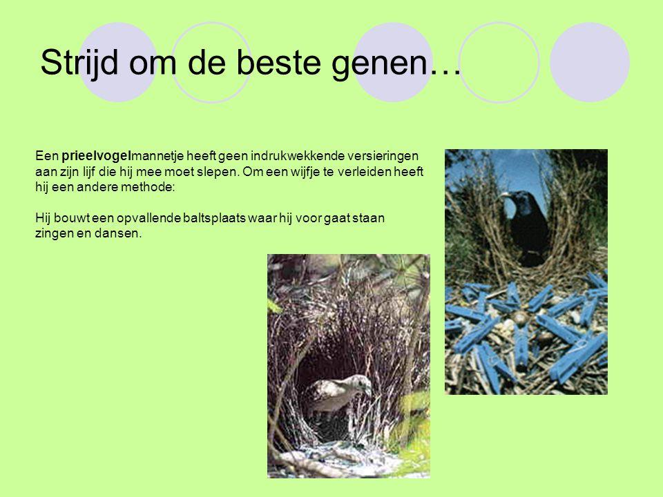 Strijd om de beste genen… Een prieelvogelmannetje heeft geen indrukwekkende versieringen aan zijn lijf die hij mee moet slepen.